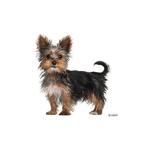 Dorkie Dachshund Yorkie Mix Info Temperament Puppies Pictures Yorkie Dogs Yorkie Mix
