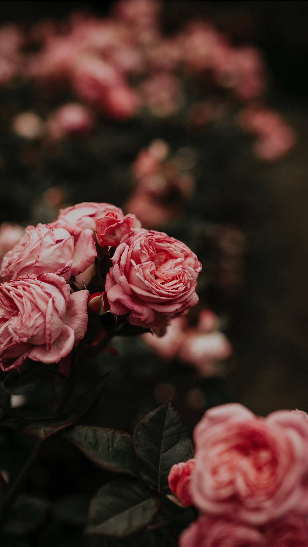 Worlds Best Rose Iphone 8 Wallpapers Fioletovye Piony
