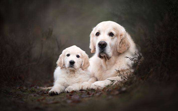 Download Wallpapers Labrador Retriever Puppy And Big Dog Pets Cute Animals Beige Labradors Dogs Besthqwallpapers Com Labrador Retriever Puppies Labrador Retriever Puppies