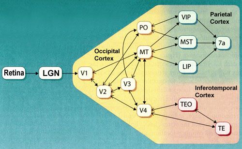 THE BRAIN FROM TOP TO BOTTOM. The Eye. The dorsal pathway comprises several cortical areas, including the medial temporal area (MT or V5), the medial superior temporal area (MST), and the ventral and lateral intraparietal areas (VIP and LIP).