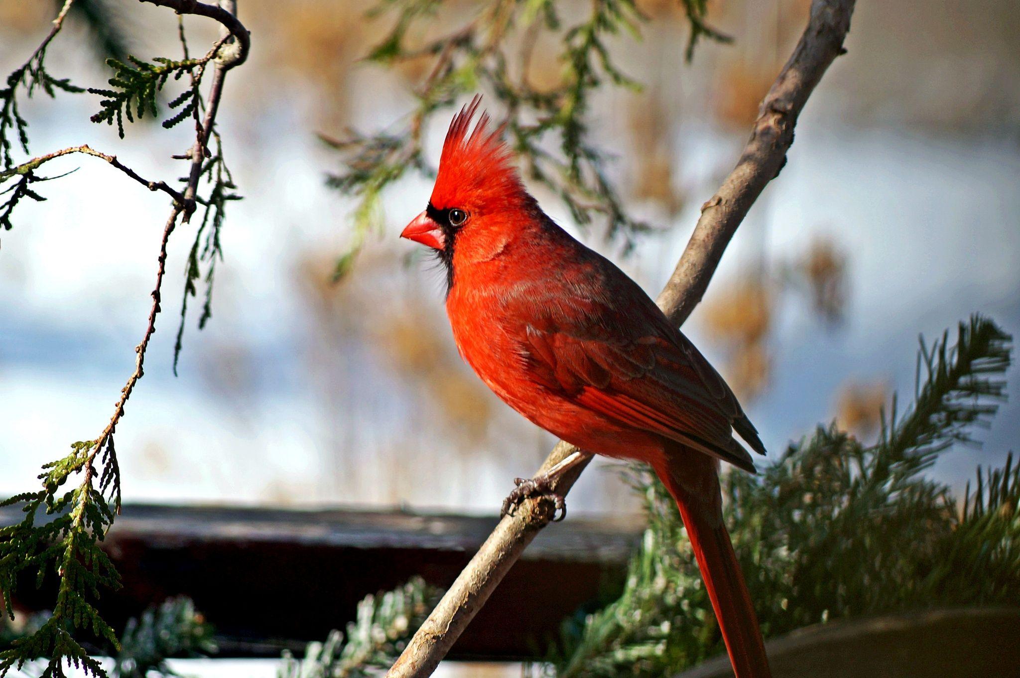 Cardinal от Cherylorraine Smith