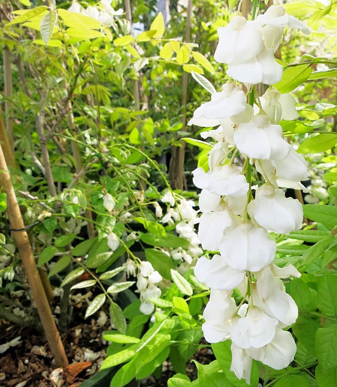 Long Clusters Of Dripping White Fragrant Flowers On Our White