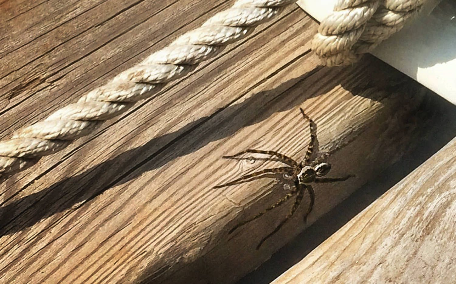 Dock spiders spiders are a big part of the cottage country experience. You know that moment when you are sitting on the dock quietly enjoying a drink ...