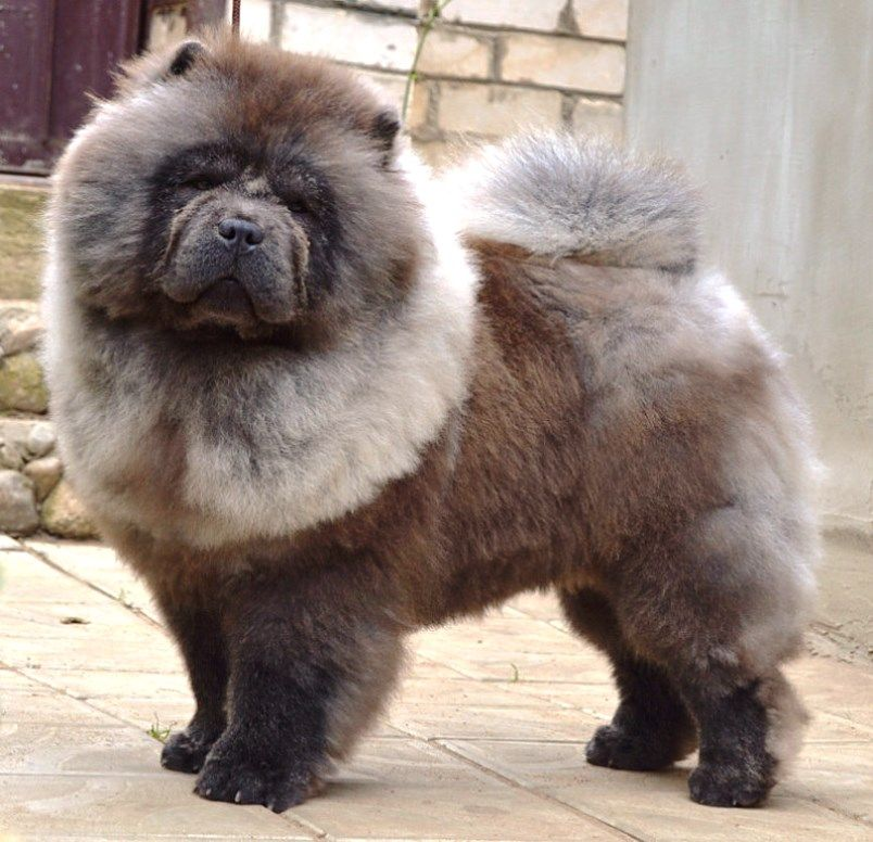 Chow Chow Dog Which Kissed The Sky Chow Chow Dogs