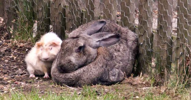 24 Giant Bunnies So Big They Could Destroy You With Images Giant Bunny Giant Rabbit Cute Animals
