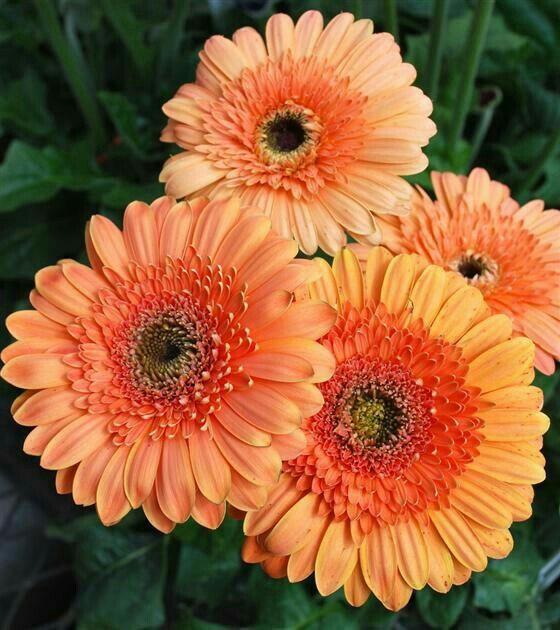 Gerberas Pretty Flowers Coral Flowers Beautiful Flowers