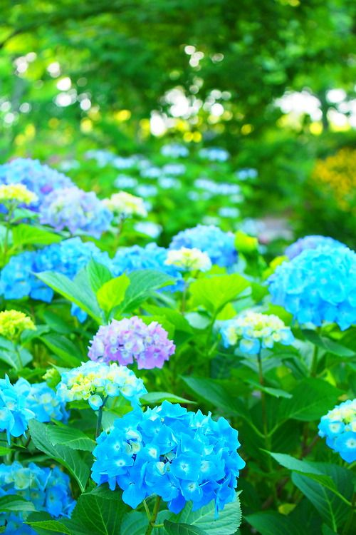 Pin By Patti Marquis On Flowers Beautiful Hydrangeas Beautiful Flowers Love Flowers
