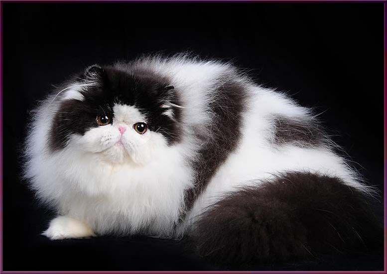 TOY TRICKSY персидские кошки persian cats   Cats, Cats
