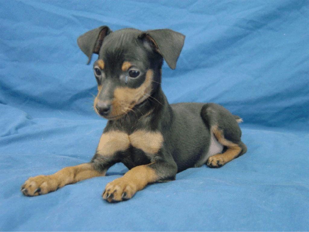 Black Tan Miniature Pinscher Puppy Miniature Pinscher Dog