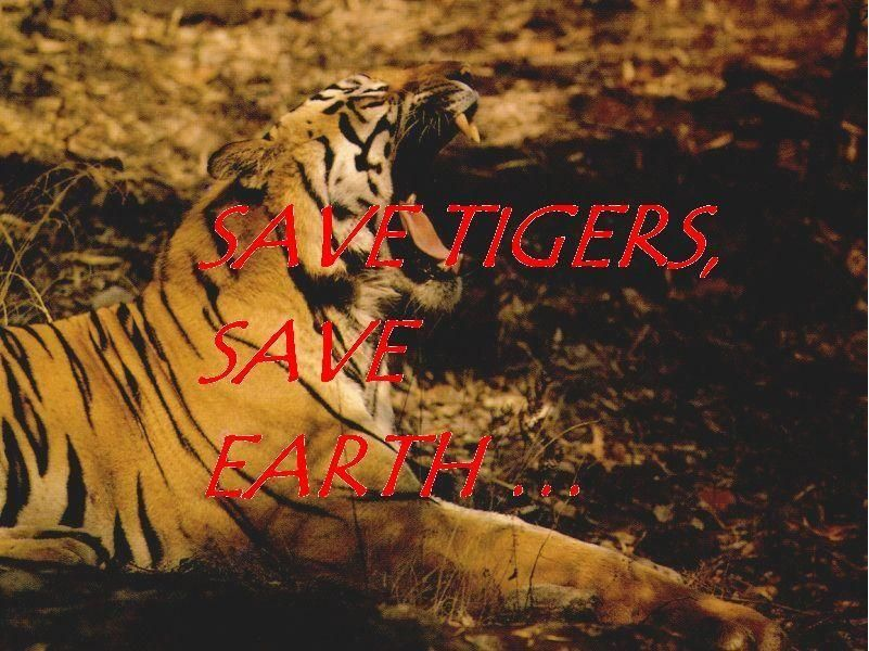 Save tigers!!! - Photography by Aniket Gulhane at touchtalent