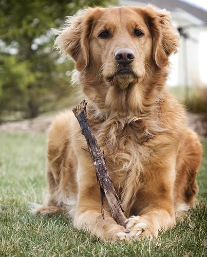 What Is That Another Stick Golden Retrievers Pudel Tiere Pudel Mix