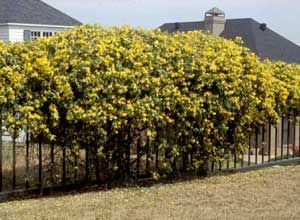 Picture Of Carolina Jasmine Gelsemium Sempervirens Vine Form