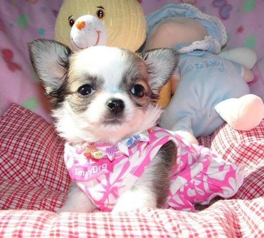 *MINI MINI Chihuahua Cute chihuahua