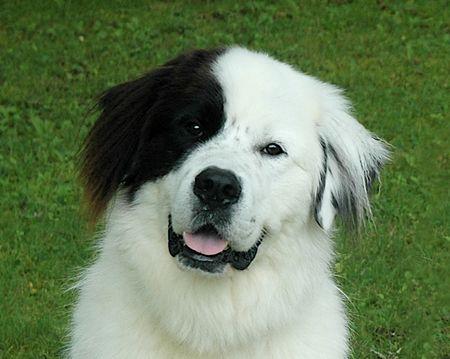 Newfoundland Bernese Mountain Dog Mix Harley Bear Is A
