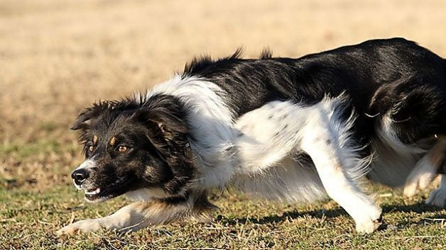 The Smartest Dogs In The World Smartest Dogs Collie Puppies