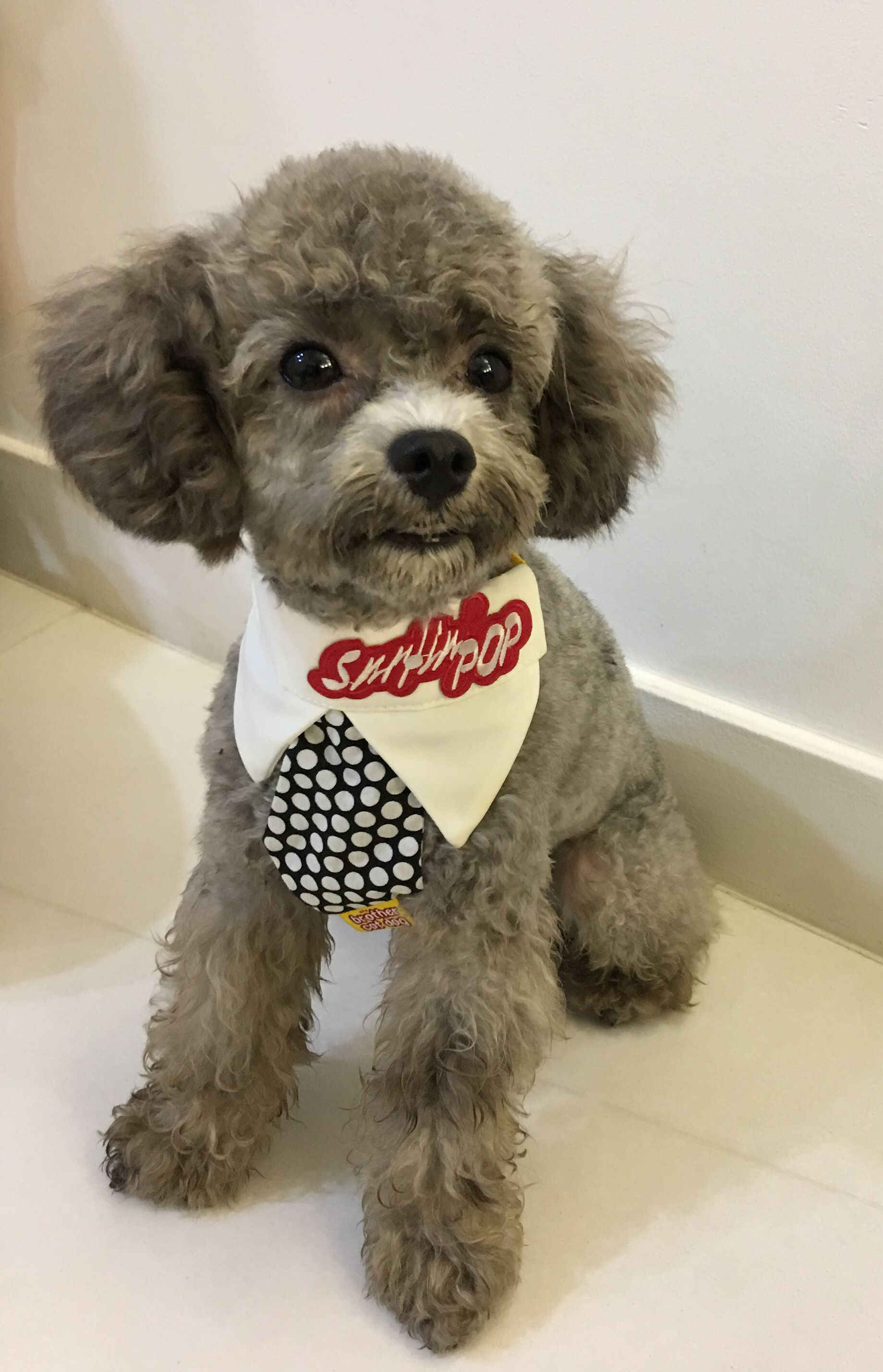 My Little Prince Japanese Poodle Style Pinterest Poodle