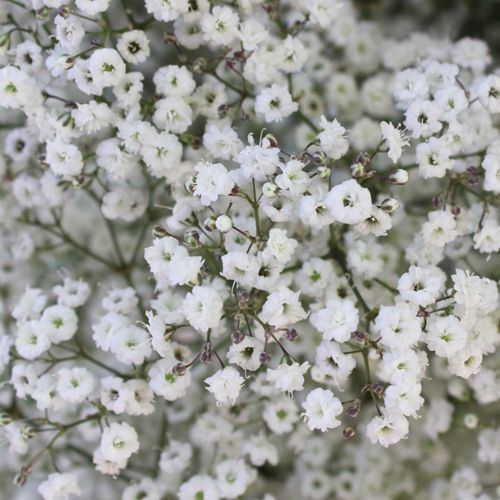 Baby's Breath Wedding Flower Express Delivery