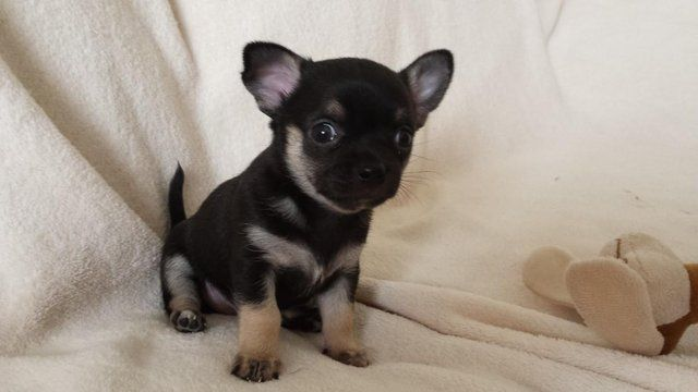 Click Here To View Full Size Dogs And Puppies Dogs Chihuahua