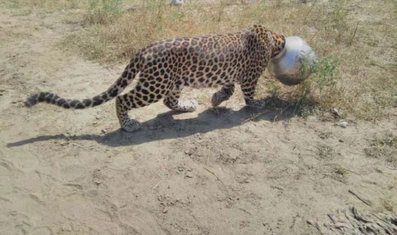 Would You Remove A Pot From The Head Of This Leopard
