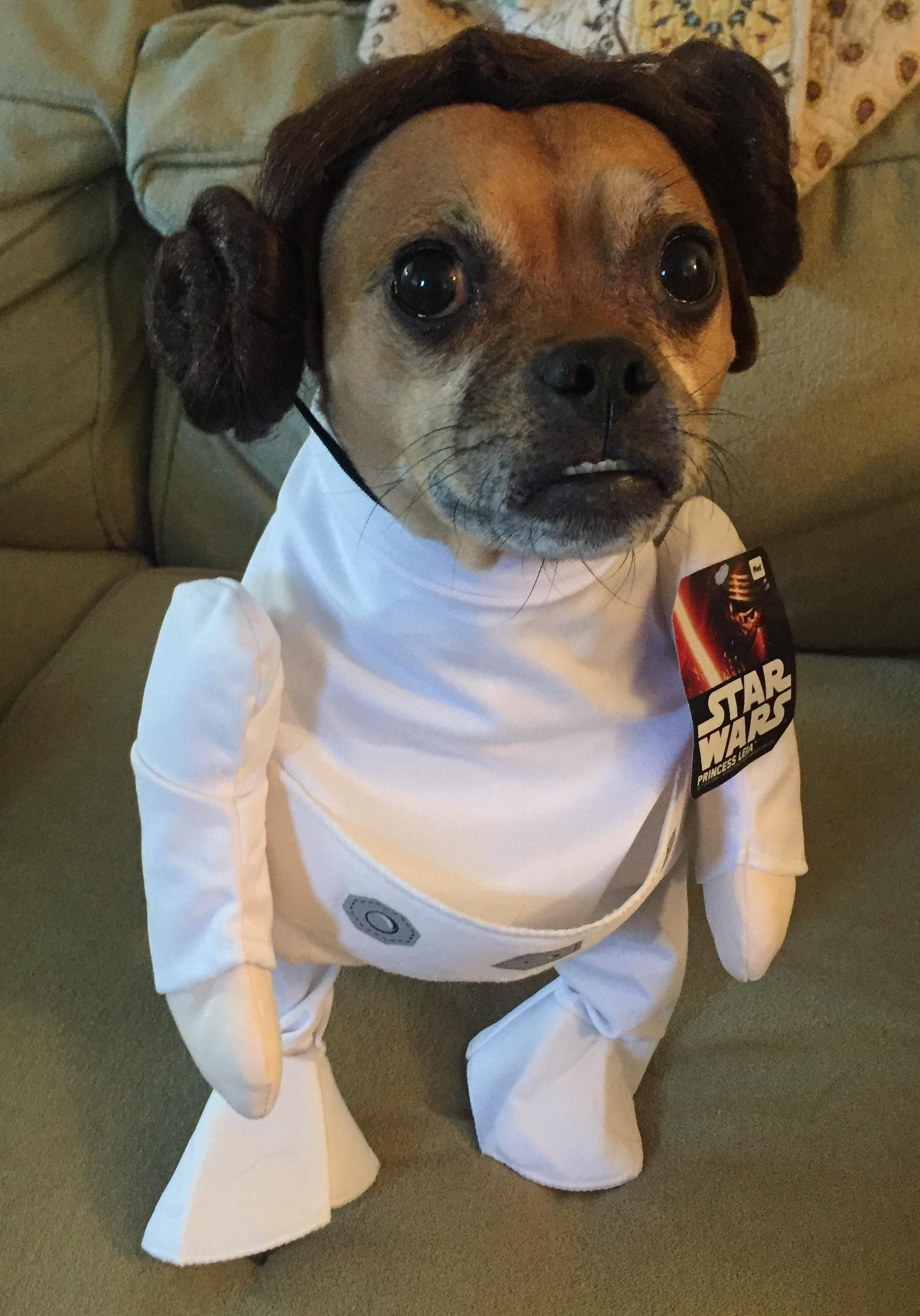 My wife likes to dress up our dogs for Halloween. Here is our little one as Princess Leia. & My wife likes to dress up our dogs for Halloween. Here is our little ...
