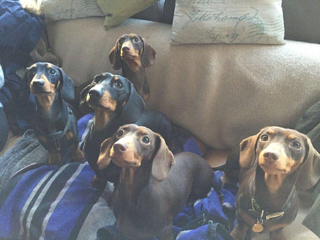 Pin By Lisa Fagan On Weiner Dogs Weenie Dogs Dachshund Basset