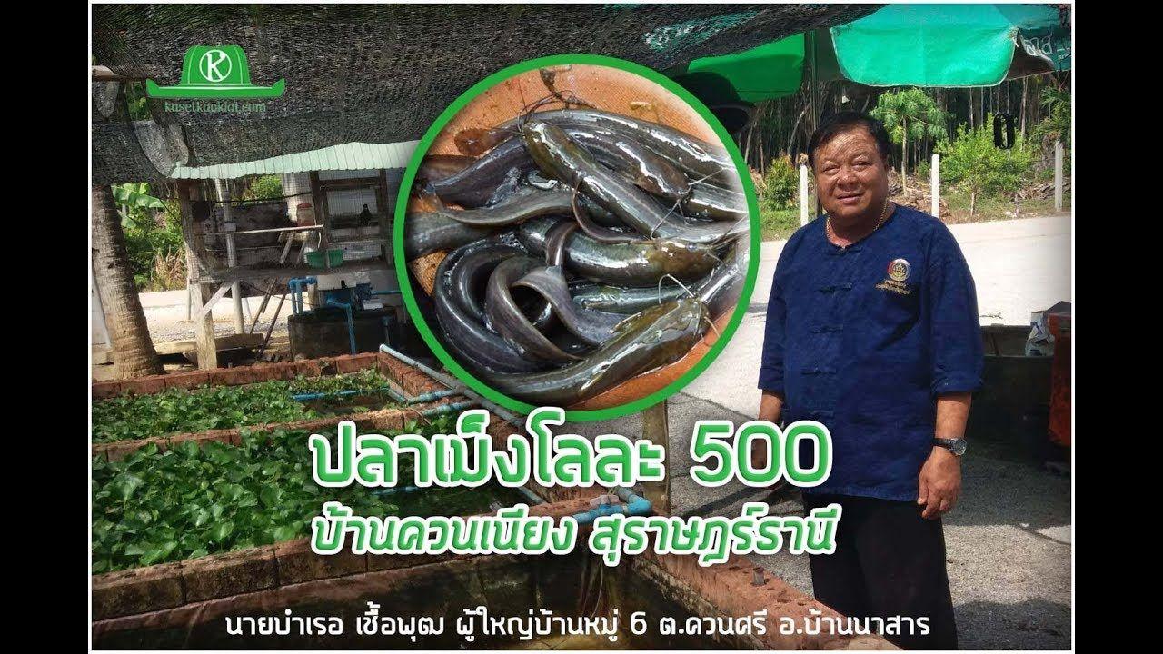 ผ ใหญ บ านเล ยงปลาเม ง ปลาจ ด ก โลละ 500 ใครอยากร มาเลย