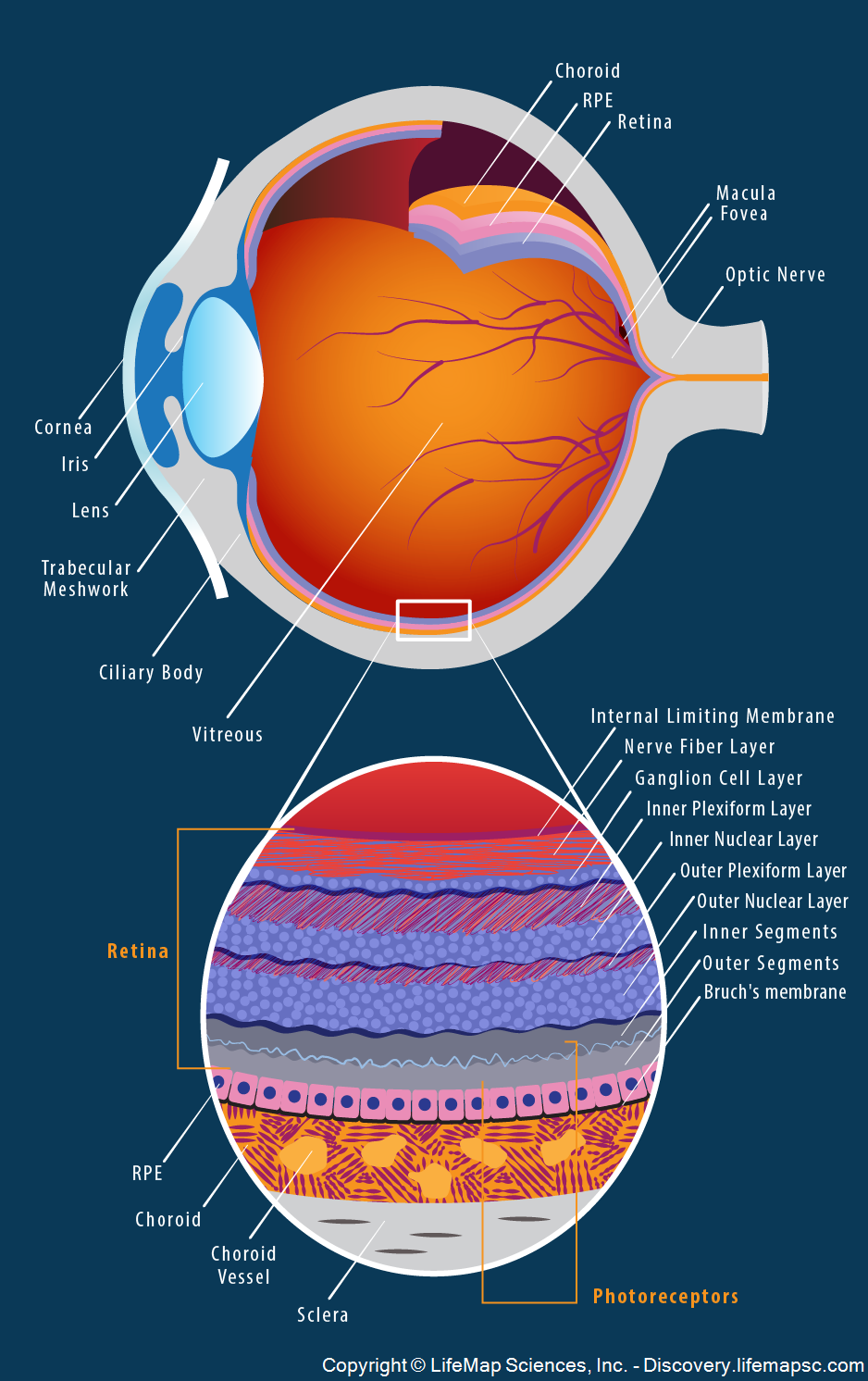 Human Eye Anatomy | Ophthalmology | Pinterest | Eye anatomy, Human ...