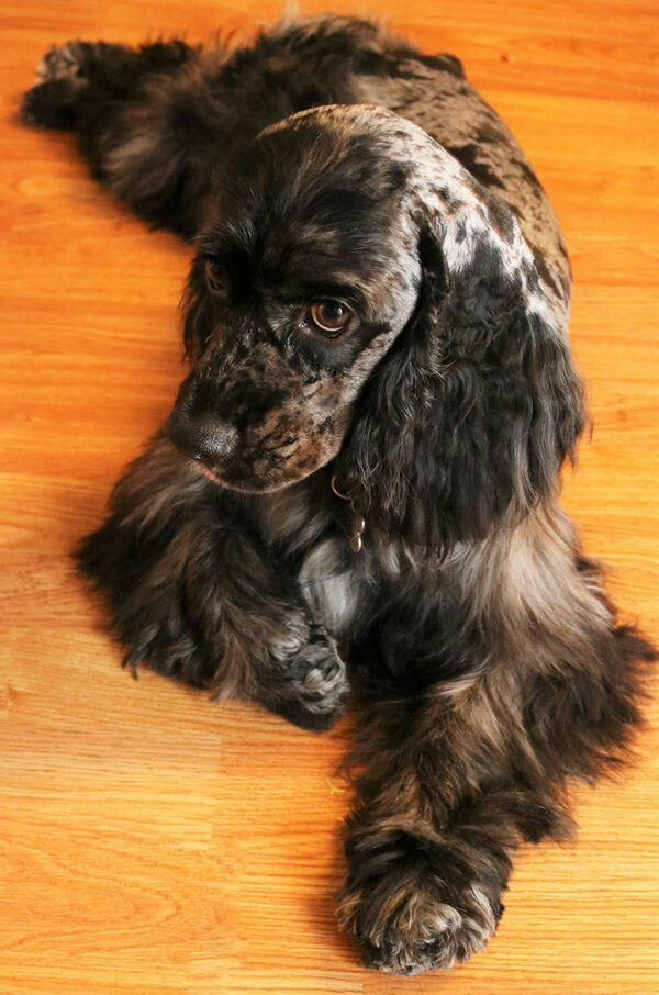 Pin By Jean And Company 85 On Cocker Spaniel Blue Merle Cocker Spaniel Spaniel English Cocker Spaniel