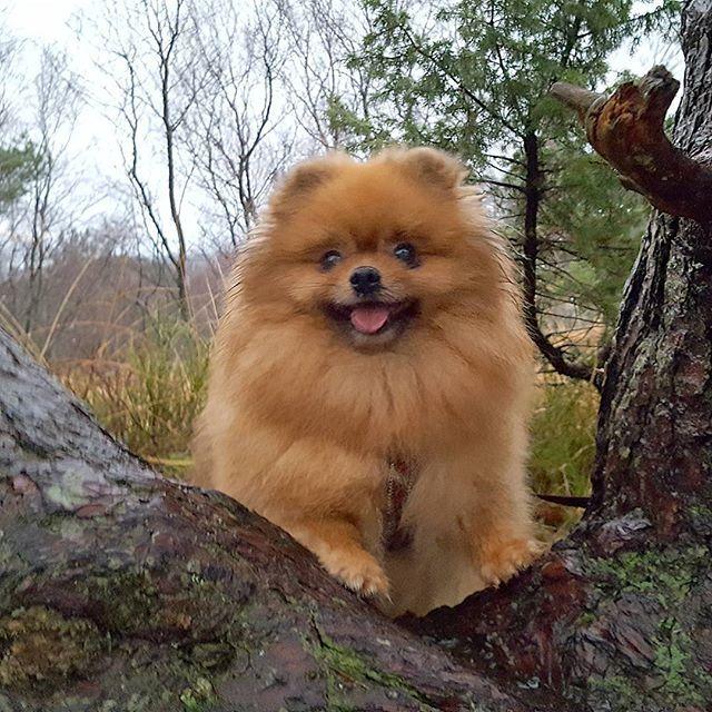 Happy new week ig friends  #dogsofinstaworld #pomeranianworld #petsoriginal #petoftheday  #pomsarethebest #pompom #TopDogPhoto #thedailypompom #weeklyfluff  #mylilbuddy #my_loving_pet #mybreedrocks #paws #dogscorner #happyface #supercute #verdensbeste #doginnature #dogscorner #hundenorge #dogsofinsta #activedog #furbaby #fineste #divinepoms #outdoor #ekstremturglede #pet_featuring