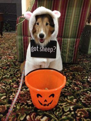 Sheltie in sheep costume #sheepcostume Sheltie in sheep costume #sheepcostume Sheltie in sheep costume #sheepcostume Sheltie in sheep costume #sheepcostume Sheltie in sheep costume #sheepcostume Sheltie in sheep costume #sheepcostume Sheltie in sheep costume #sheepcostume Sheltie in sheep costume #sheepcostume Sheltie in sheep costume #sheepcostume Sheltie in sheep costume #sheepcostume Sheltie in sheep costume #sheepcostume Sheltie in sheep costume #sheepcostume Sheltie in sheep costume #sheepc #sheepcostume