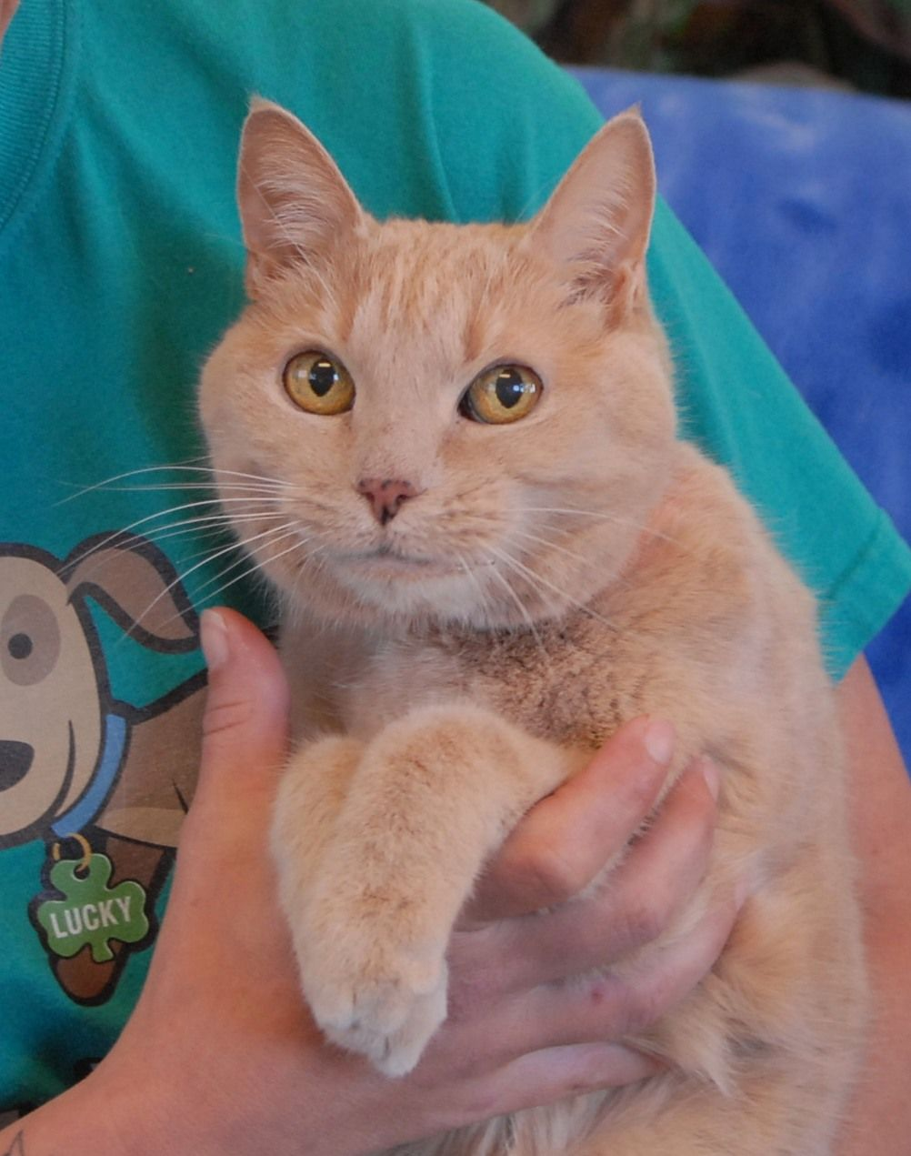Grandma is 17 years of age and debuting for adoption today at Nevada SPCA (www.nevadaspca.org).  She is a graceful, humble cream tabby with gold eyes, spayed, and best suited for a calm home environment.  After so many years of loving companionship, someone failed Grandma and she is homeless due to no fault of her own.  We plead for your help in finding Grandma a hero so she can be placed in a loving home environment as soon as possible.