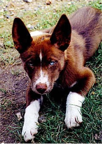 Australian Kelpie Photos Pictures Puppies Australian Kelpies Rare Dog Breeds Dog Breeds Blue Eyed Dog