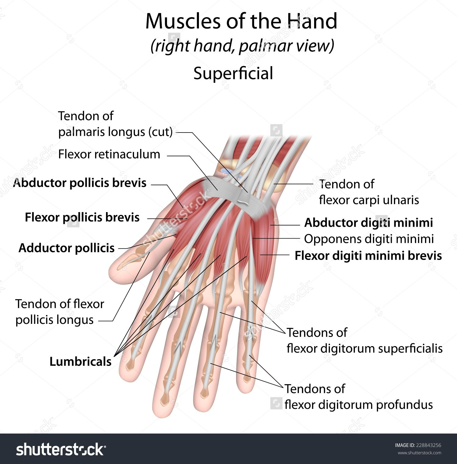 Hand muscles palmar aspect superficial labeled | Massage pro | Pinterest