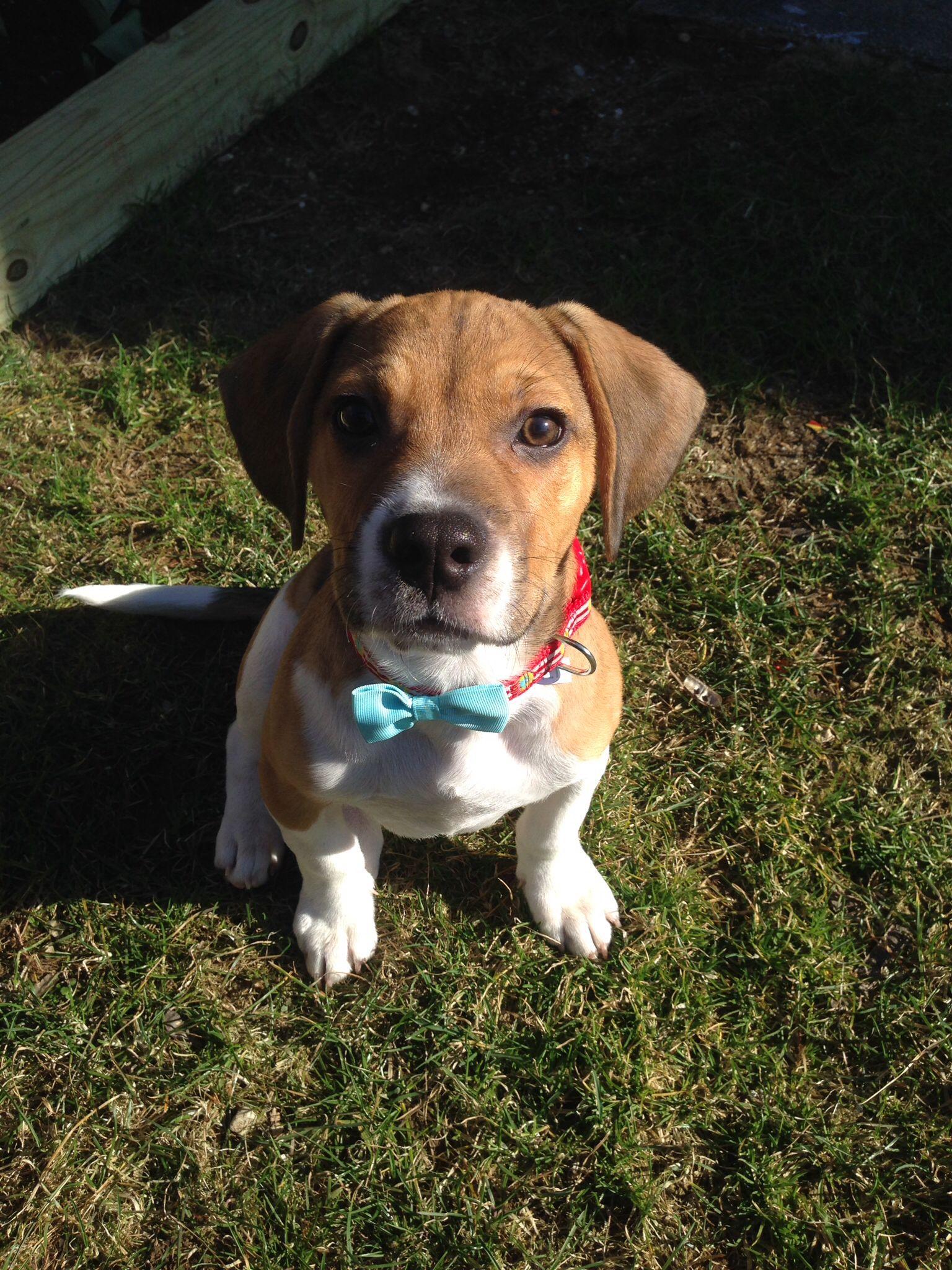 My Frengle French Bulldog Beagle Puppy Reeses Beagle Puppy