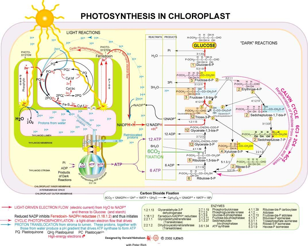 Photosynthesis in the Chloroplast Biochemistry