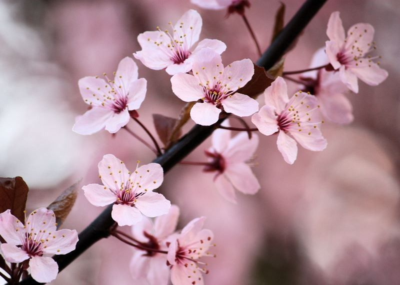 Joyful   5x7 Flower Photograph   Pink Cherry Blossoms   Home Decor  Photography   IN STOCK. $15.00, Via Etsy.