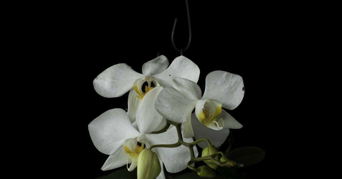 Gambar Bunga Anggrek Dan Keterangannya Anggrek Berbagi Tak Pernah Rugi Bunga Anggrek Jenis Manfaat Karakteristik Cara Merawat Harga Ju Di 2020 Bunga Anggrek Gambar