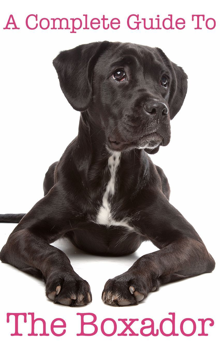 Boxer Lab Mix Your Complete Guide to the Boxador Black