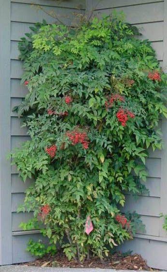 "SHRUBS: Nandina Domestica: Standard ""Heavenly Bamboo,"" for inside the gate on the fenceline"