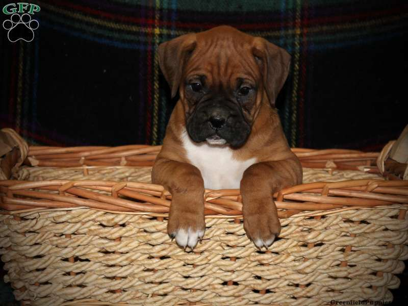 Wilkens , Boxer for sale from Manheim, PA Boxer puppies