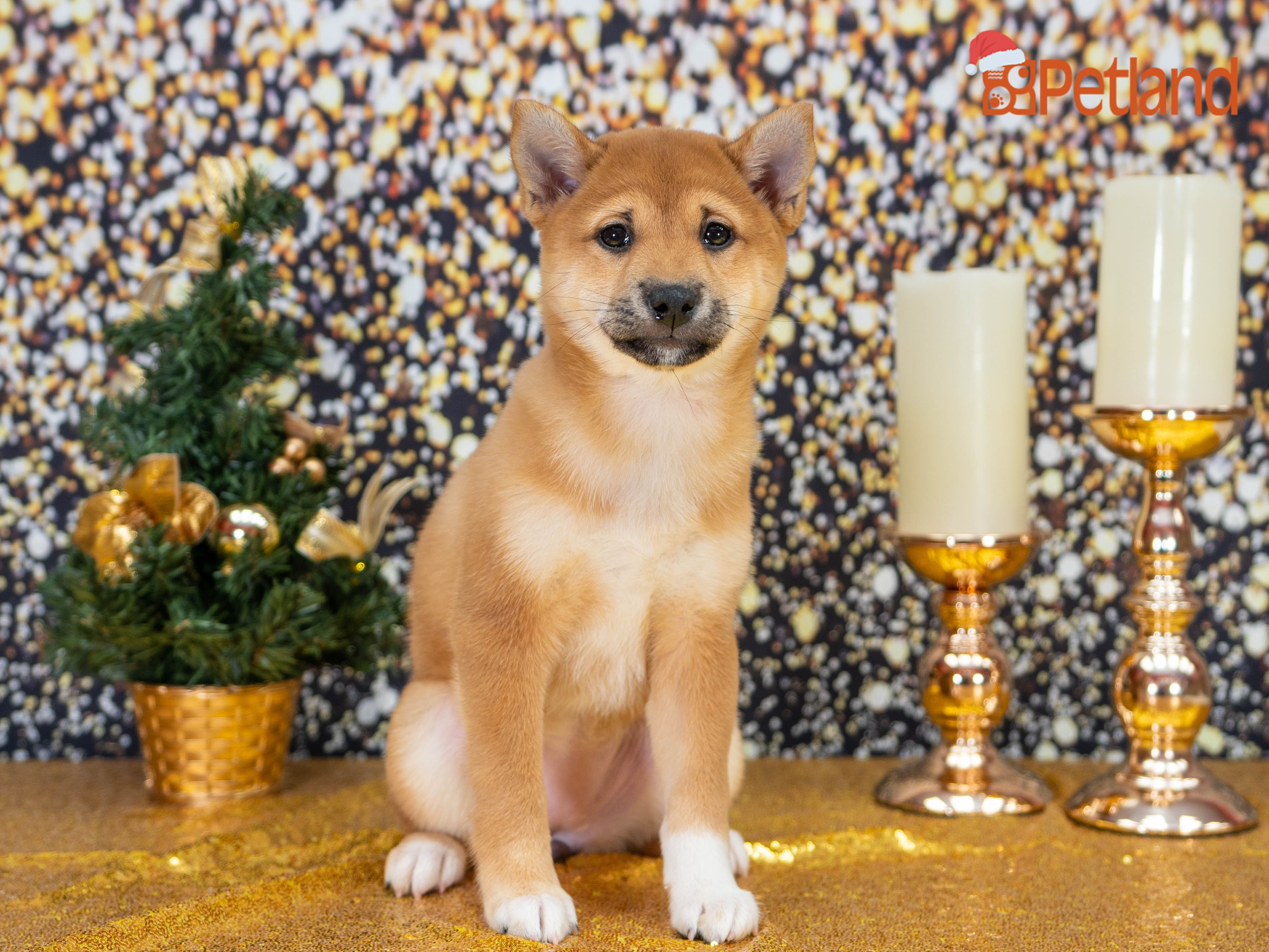 Puppies For Sale Shiba Inu Puppies Puppies For Sale