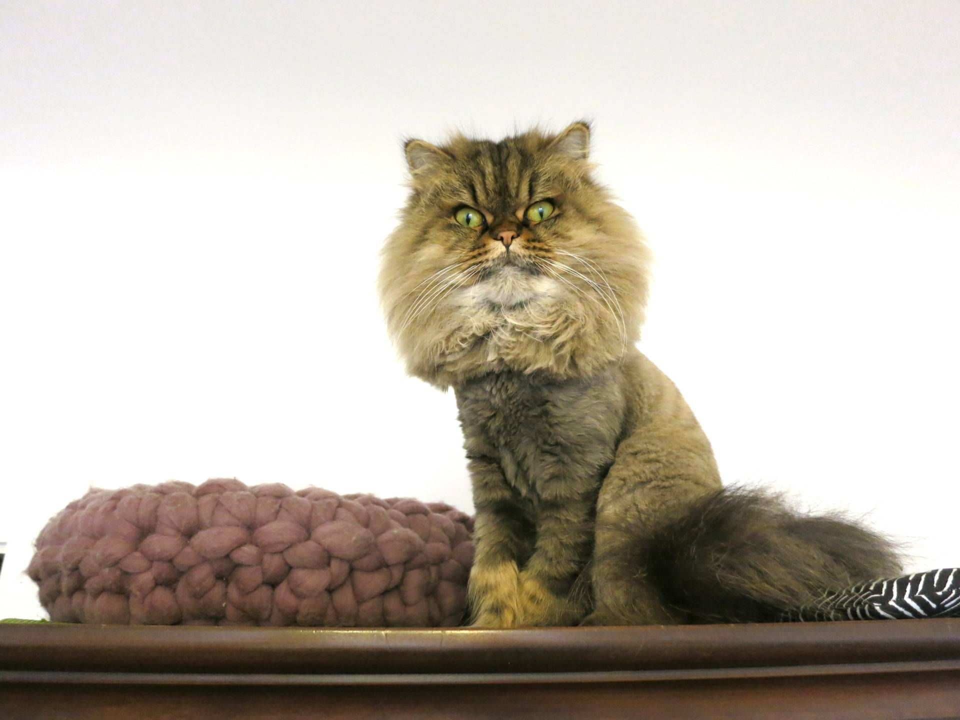 1st Lion Cut For My Persian Cats Cat Lovers Pinterest Cats