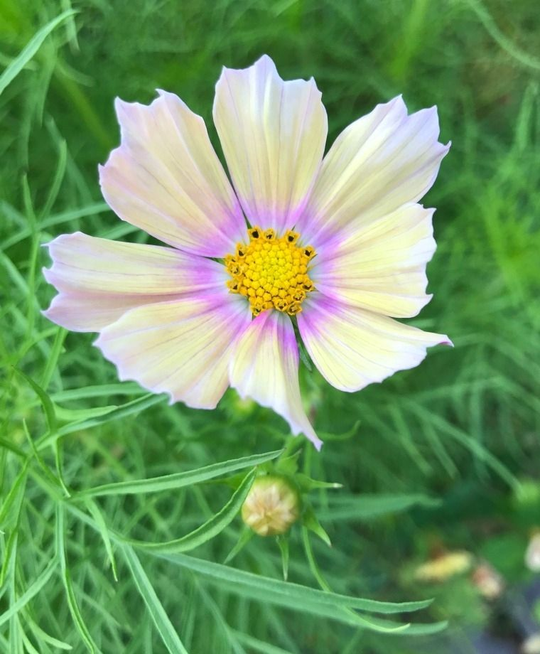 Apricot Lemonade Cosmos From John Scheepers In 2020 Cosmos Plant Garden Seeds Plant Spacing