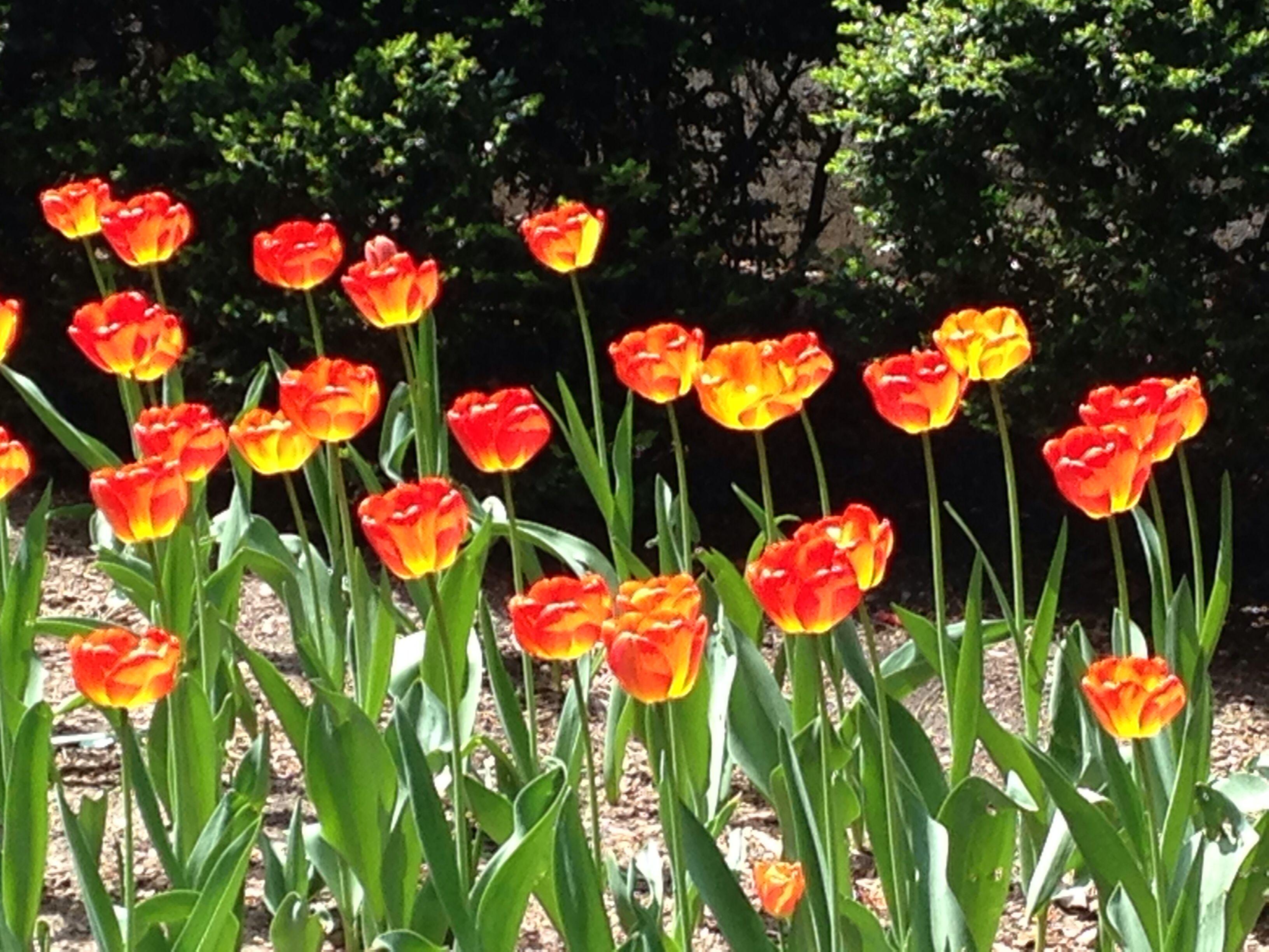Tulipanes ny
