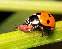 Conoce Algunos Insectos Beneficiosos Para El Huerto Huerta