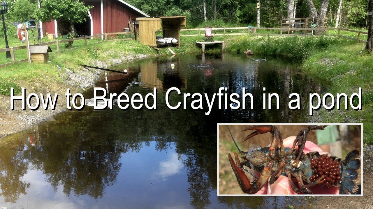 How to Breed Crayfish/Crawfish in a Pond Pond, Crayfish