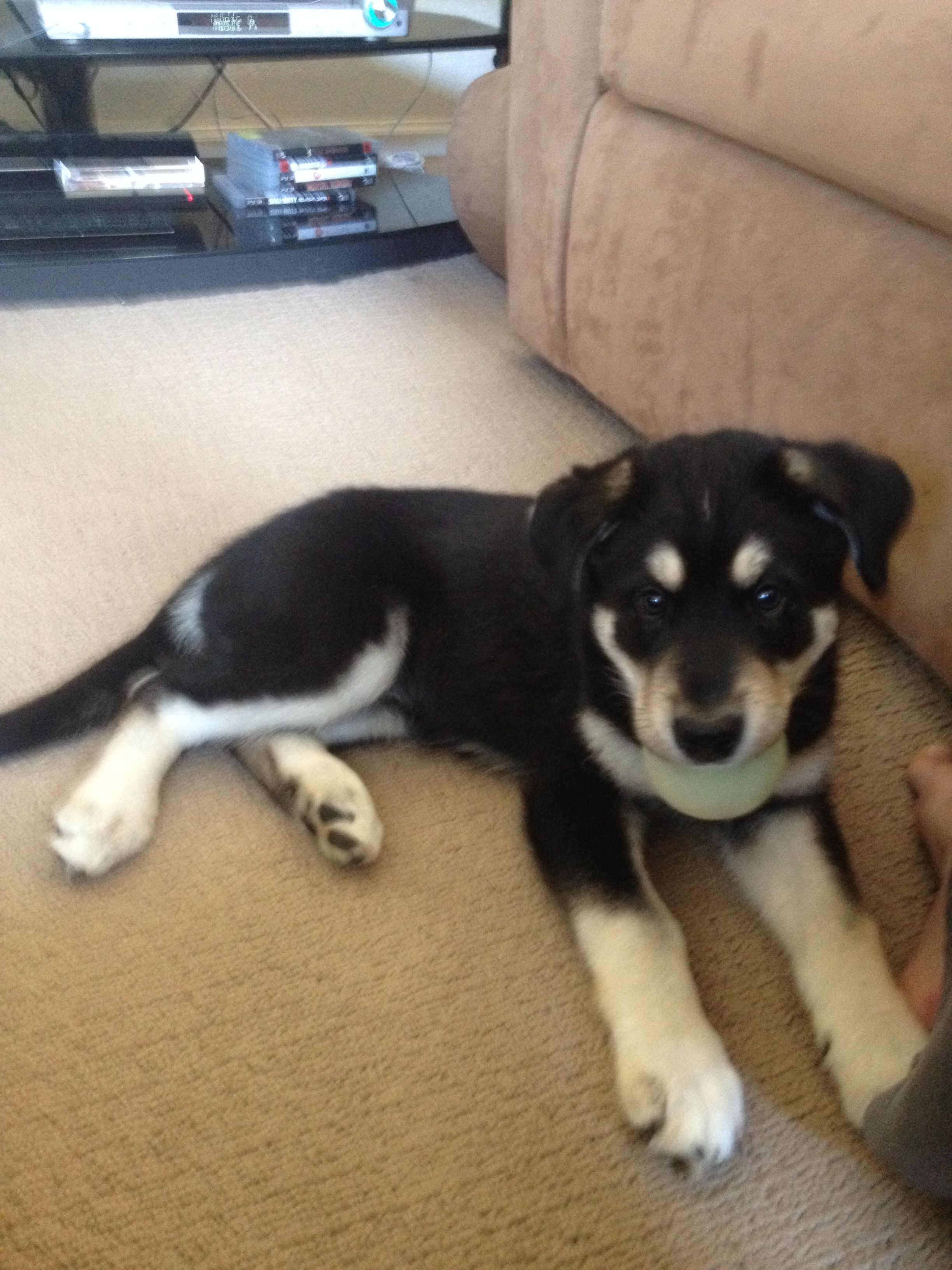 The Cutest Malador Puppy Alaskan Malamute Labrador Mix
