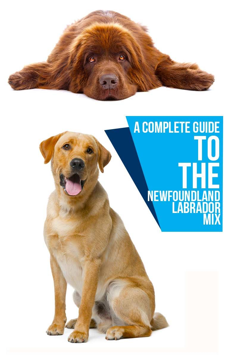 A Complete Guide To The Newfoundland Labrador Mix Dog Breed Reviews From The Happy Puppy Site Labrador Mix Lab Mix Puppies Newfoundland