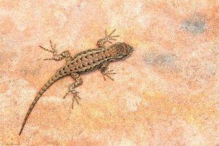 Western Fence Lizard on the flagstone in my backyard. I ...