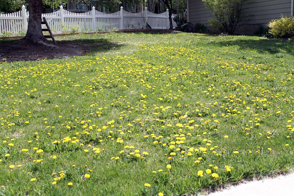 Getting Rid Of Dandelions And Yard Shame Chris Loves